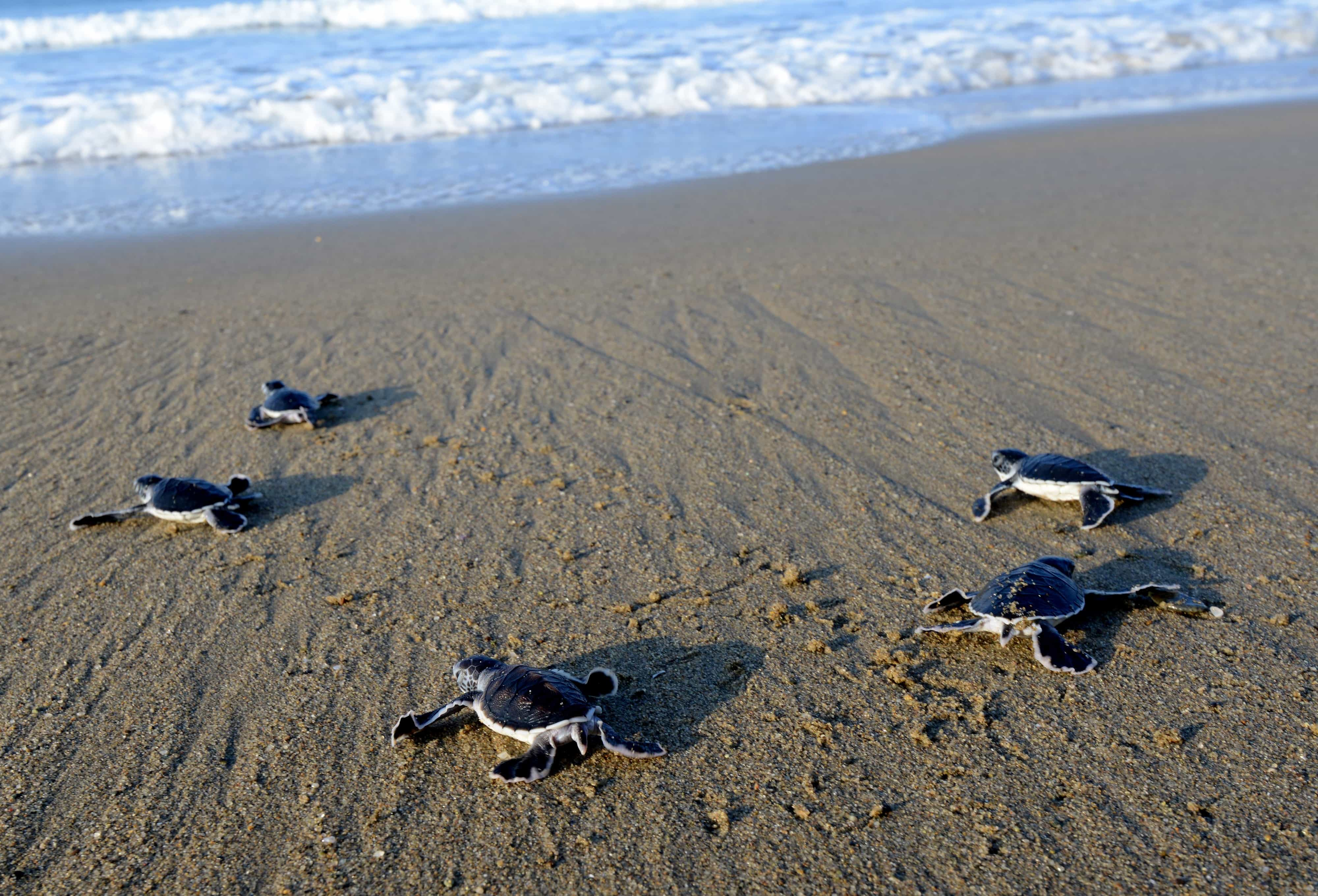 This photograph taken on March 23, 2014 shows baby green turtles crawling to the sea after being hatched and released at a turtle sanctuary on Sukamade island in Banyuwangi regency, East Java province.  Indonesia, at the crossroads of important migration routes next to the Pacific and Indian Oceans, is home to six out of seven of the world's turtle species.      AFP PHOTO  / SONNY TUMBELAKA        (Photo credit should read SONNY TUMBELAKA/AFP/Getty Images)